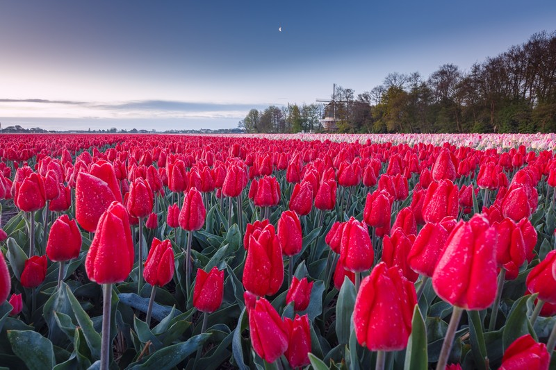 Tulips from holland 1496398634