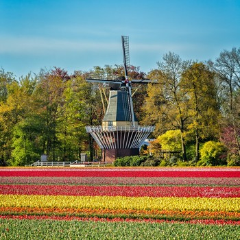 Thumb tulips from holland 1496398634