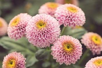Thumb chrysanthemum from holland 1496399944