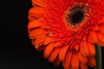 Thumb gerbera from holland 1496400557
