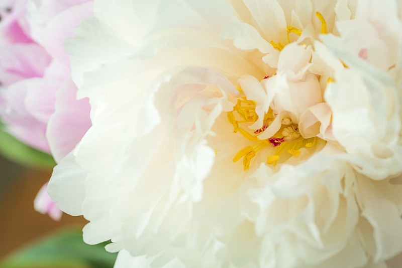 Peony dutch nemo sarah bernhardt from holland 1496400665