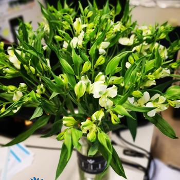 New! Alstroemeria FL Arcadia! photo