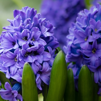 Attention! Hyacinthus pot plant season begins! photo