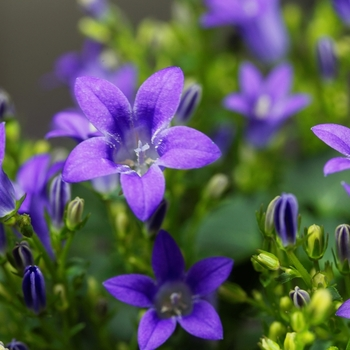 Attention! The season of campanula is over! photo