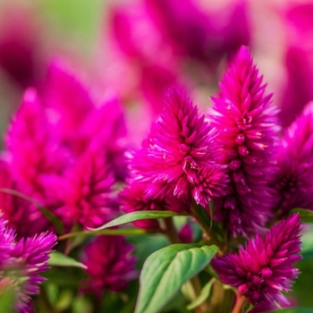 Attention! The season of celosia is over! photo