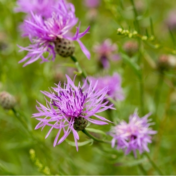 Attention! The season of centaurea is over! photo