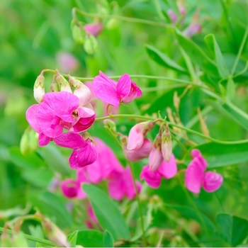 Attention! The season of lathyrus is over! photo