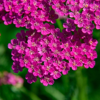 Attention! The season of achillea is over! photo