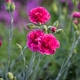 Small dianthus standard 1490352107