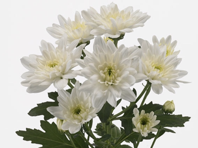 CHR T BALTICA chrysanthemum