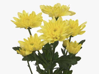 CHR T BALTICA YELLOW chrysanthemum