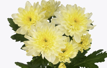 CHR T ZEMBLA CREAM chrysanthemum