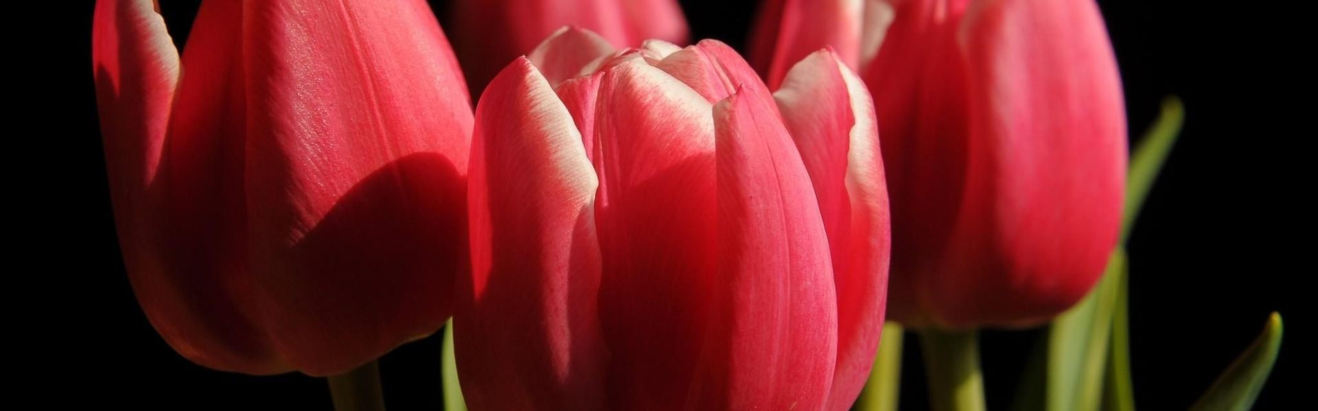 Wholesale tulip