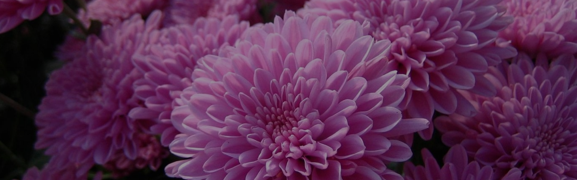 Wholesale chrysanthemum