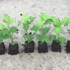 Seedlings (sprigs) of chrysanthemums