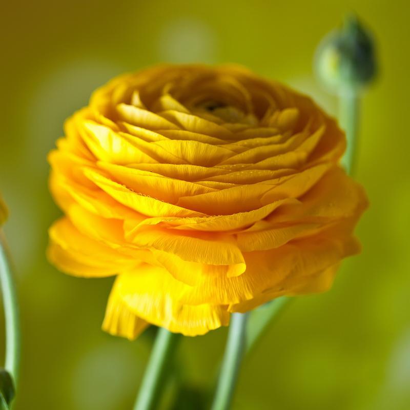 Attention Ranunculus Season Begins